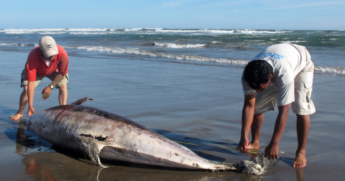 Experts measure a dead dolphin on a beach on the northern coast of Peru, close to Chiclayo, some 750 km north of Lima, on April 11, 2012. Peru is investigated the death of 877 dolphins -- 95 percent of them being of the bottlenose species - which have been found along a 170 km stretch of shore along the Pacific Ocean between January and April that year.</p>