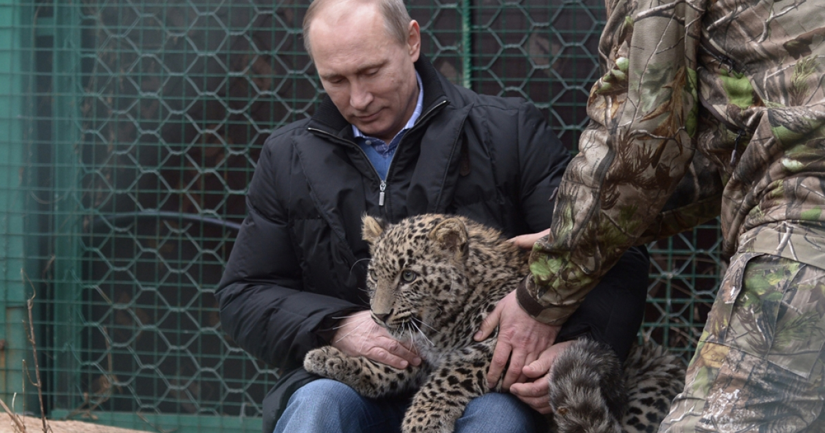 Russia's President Vladimir Putin caresses a Persian leopard cub as he visits the Persian leopard breeding and rehabilitation centre in the National Park in the Black Sea resort of Sochi, on Feb. 4, 2014.</p>