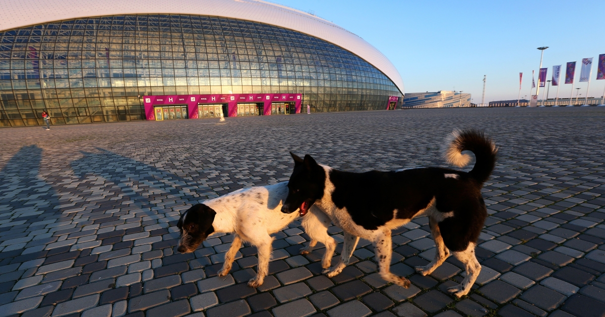 Stray dogs play in front of the Bolshoy Ice Dome ahead of the Winter Olympics at Iceberg Skating Palace on Feb. 2, 2014 in Sochi, Russia.</p>