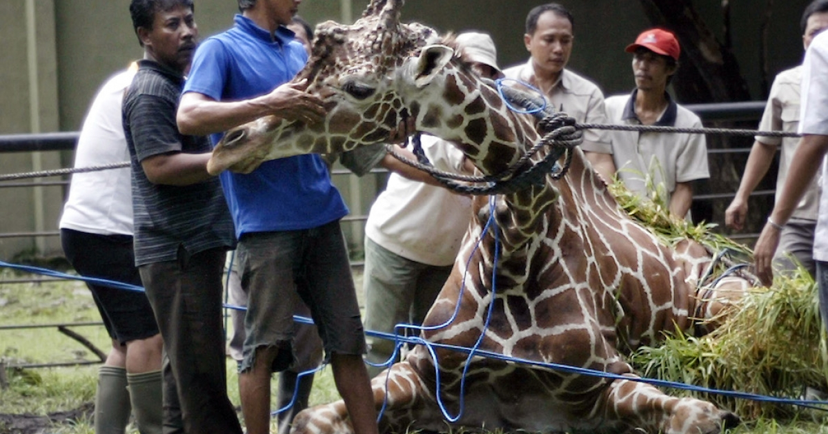 Indonesian zoo personnel attend to a 30-year-old ailing giraffe named Kliwon at the Surabaya zoo in Surabaya, on March 1, 2012. The giraffe died that evening with 20 kilograms of plastic found in its stomach.</p>