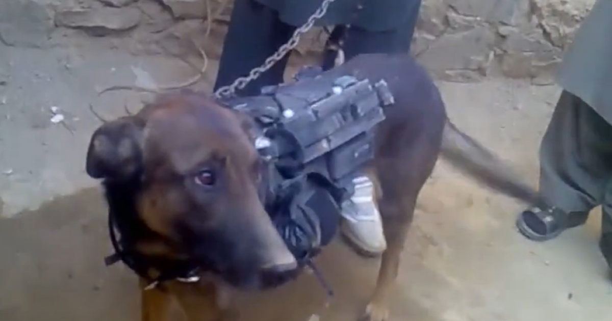 In a video released Feb. 6, 2014, the Taliban claimed to have captured a military dog following a raid late last year in eastern Afghanistan.</p>