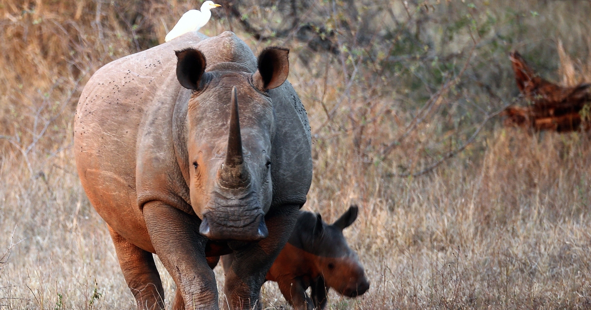 A newly born white rhinoceros walks with its mother in Kruger National Park on July 7, 2013 in Lower Sabie, South Africa.</p>