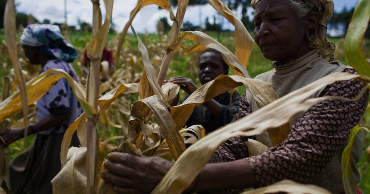 Kenyan farmers pick through their maize crop in a field in the village of Kapsimatwa near the Rift Valley town of Bomet in western Kenya on September 9, 2008.</p>