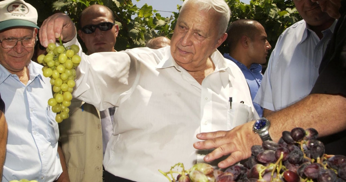 Former Israeli prime minister Ariel Sharon looks at grapes during a visit to the Vulcani agriculture research institute August 12, 2003 in Beit Dagan, Israel.</p>