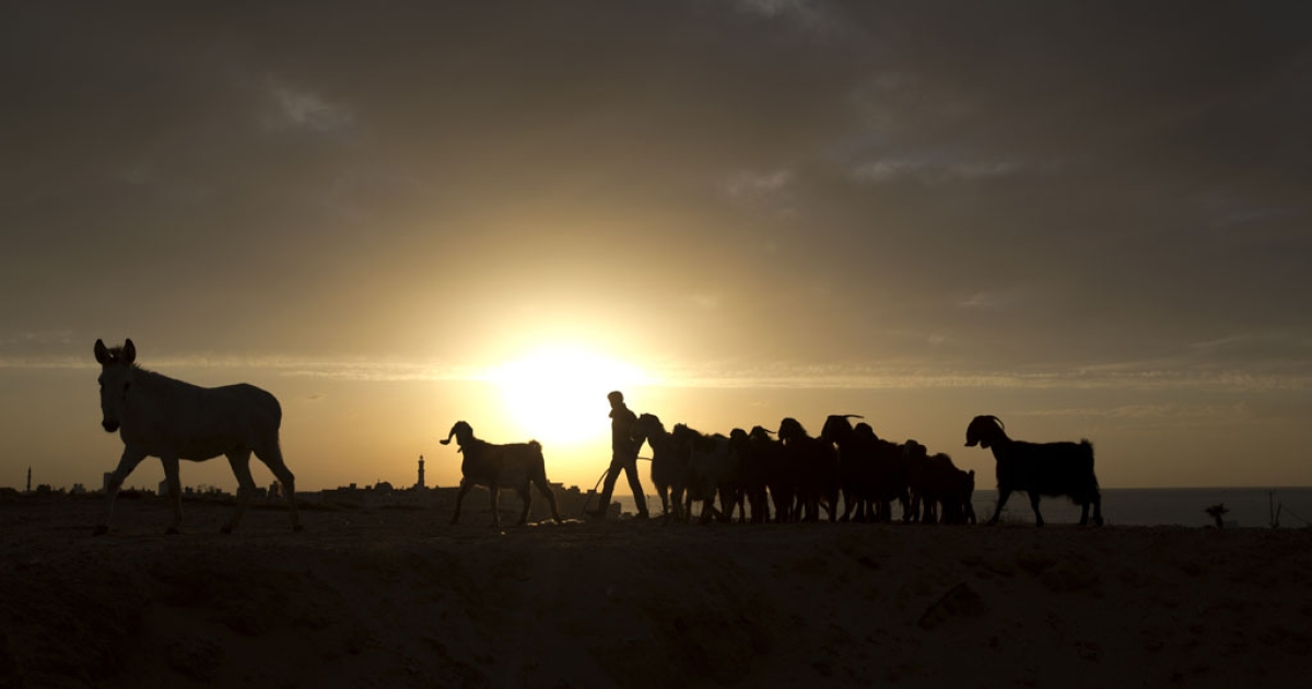 A Palestinian shepherd herds his flock at sunset in Gaza City on Dec. 17, 2013.</p>