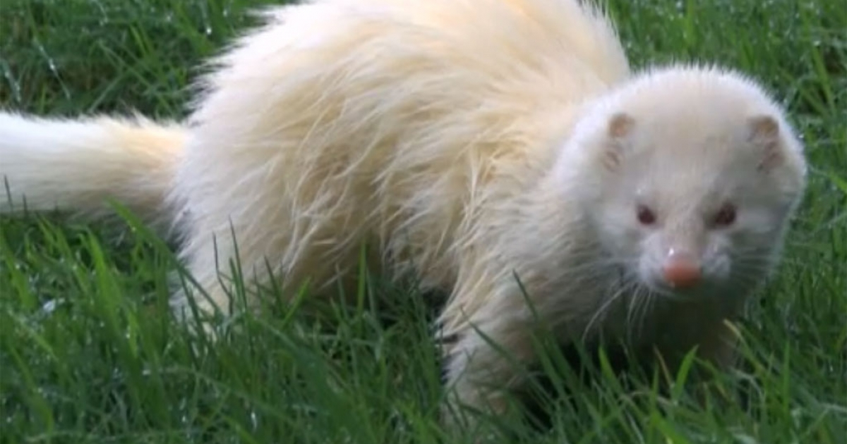 Grumpy Gareth the feisty ferret caught the attention of BBC on Jan. 10, 2014, reporting staff at Woodside animal sanctuary in Plymouth, England, are at a loss trying to adopt the wily weasel.</p>