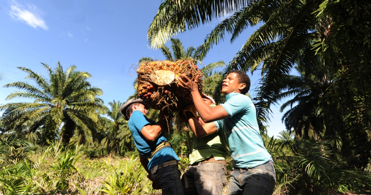 Honduran workers harvesting African palm trees.</p>