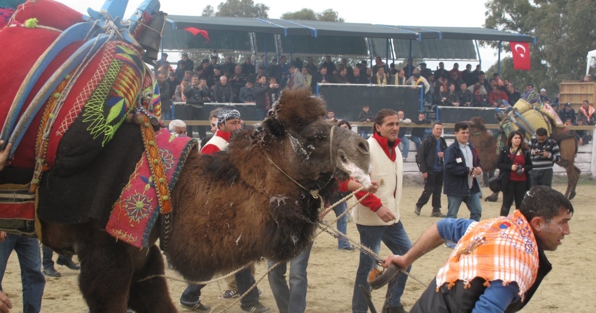 Referees pull camels out of the ring before the animals are able to inflict real harm on each other. The bouts have been criticized by animal welfare groups though organizers insist it's humane.</p>