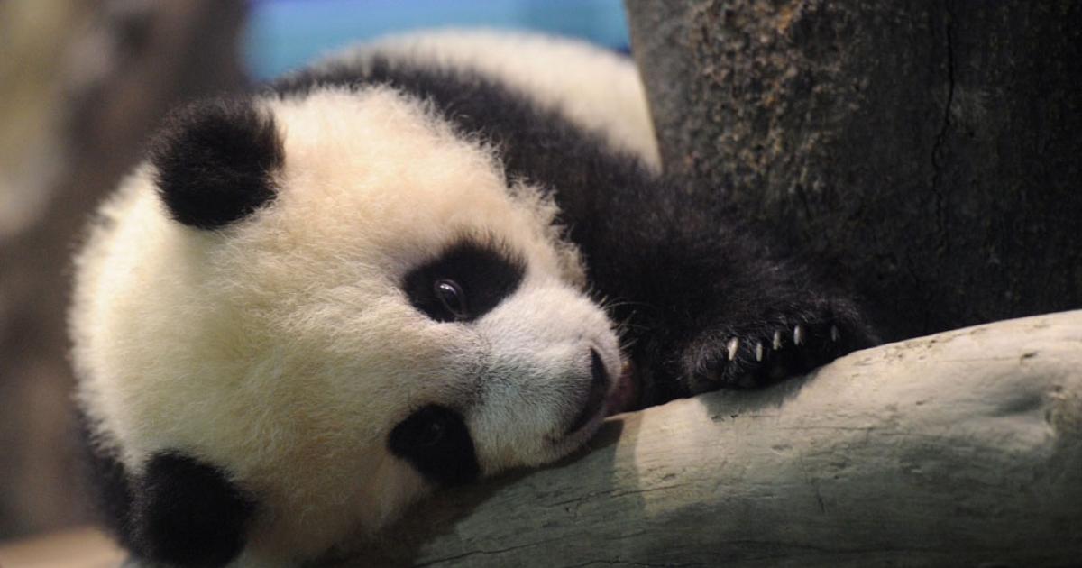 Yuan Zai, the first Taiwan-born baby panda, at the Taipei City Zoo on Jan. 4, 2014.</p>