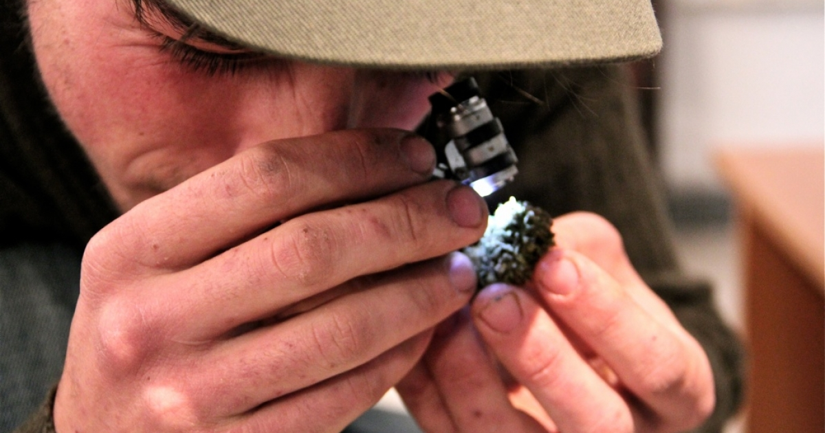 A consumer at the Cannabis Studies Association checks a bud for crystal-looking bits said to contain the THC chemical that gets you high.</p>