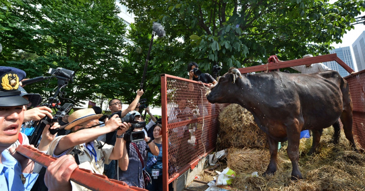 A diseased cow in front of the agriculture ministry in Tokyo on June 20, 2014.</p>