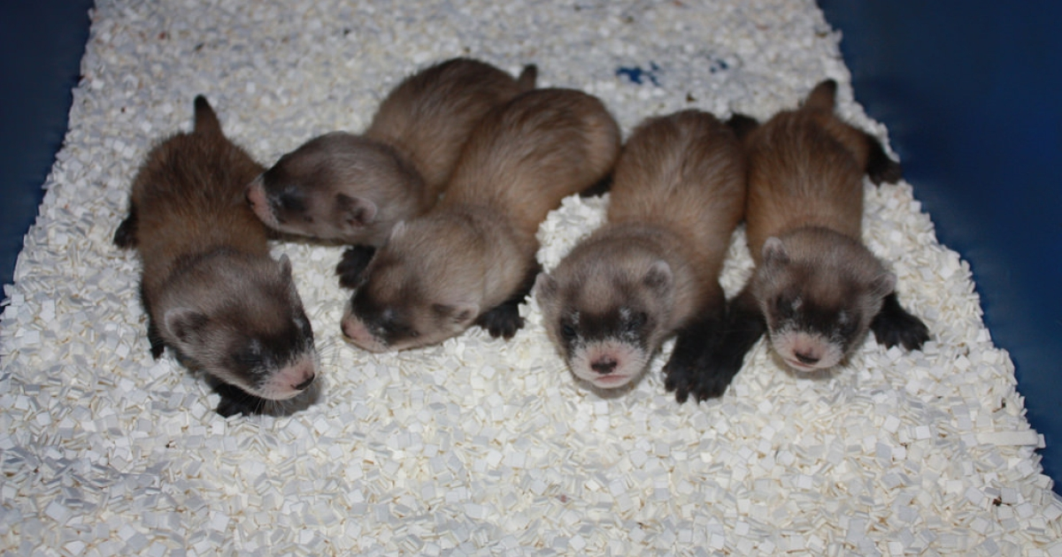 Black-footed ferrets were thought extinct until 1980, when a colony of ferrets was discovered in Wyoming. Today all black-footed ferrets are descended from 18 ferrets in that colony.</p>