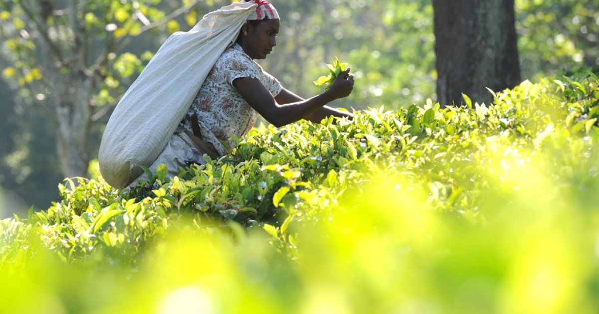 A Sri Lankan tea picker works on a plantation in the central town of Kandy on November 21, 2013. The International Monetary Fund (IMF) expects growth for the current calendar year to be about 6.5 percent, a full percentage point lower than the Sri Lankan central bank's forecast of 7.5 percent.</p>