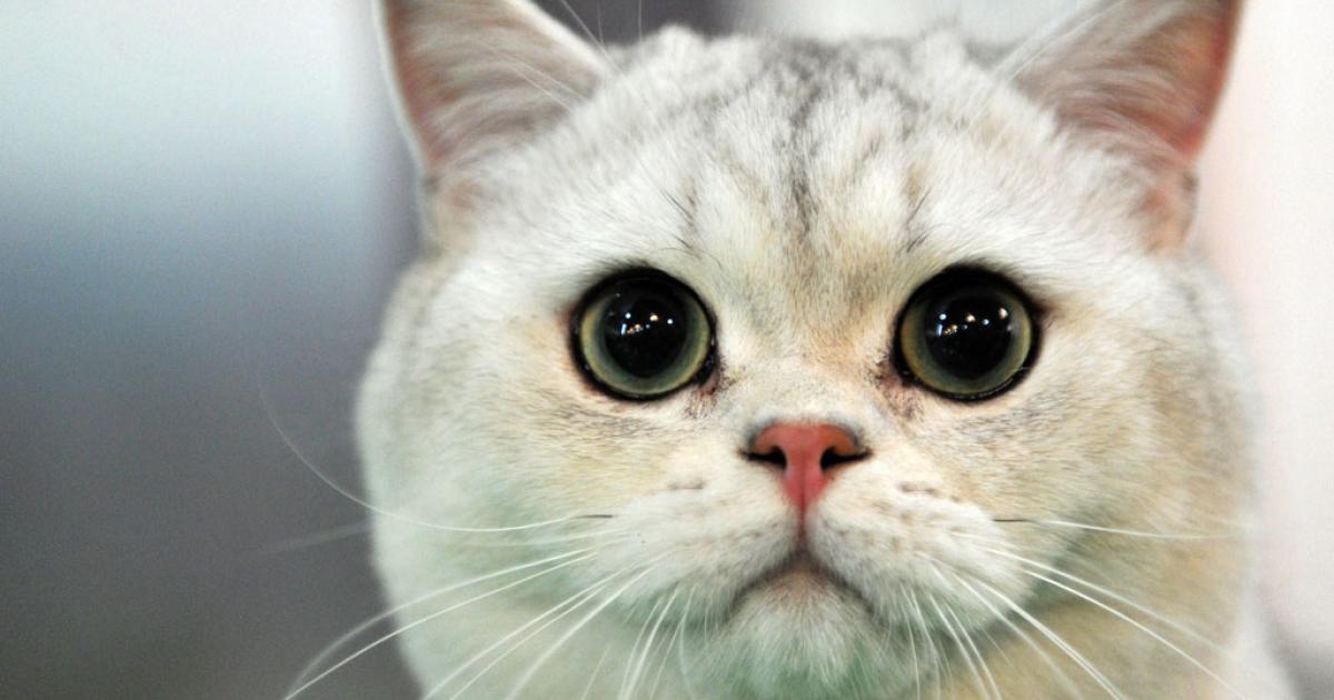 A British Shorthair cat.</p>