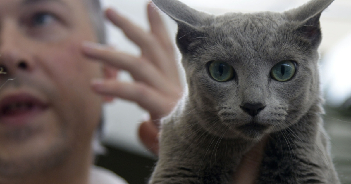 A judge presents a Blue Ruso cat during the VI International Feline Fair in Medellin, Antioquia department, Colombia on March 16, 2014. AFP PHOTO/Raul ARBOLEDA        (Photo credit should read RAUL ARBOLEDA/AFP/Getty Images)</p>