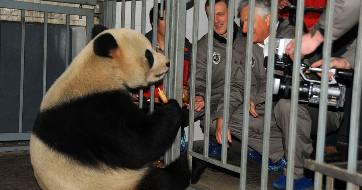 Belgian officials meet giant panda Hao Hao at the China Conservation and Research Center for Giant Pandas in Dujiangyan, Sichuan province, Feb. 22, 2014.</p>