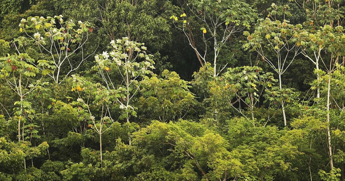 Amazon rainforest trees in Brazil.</p>