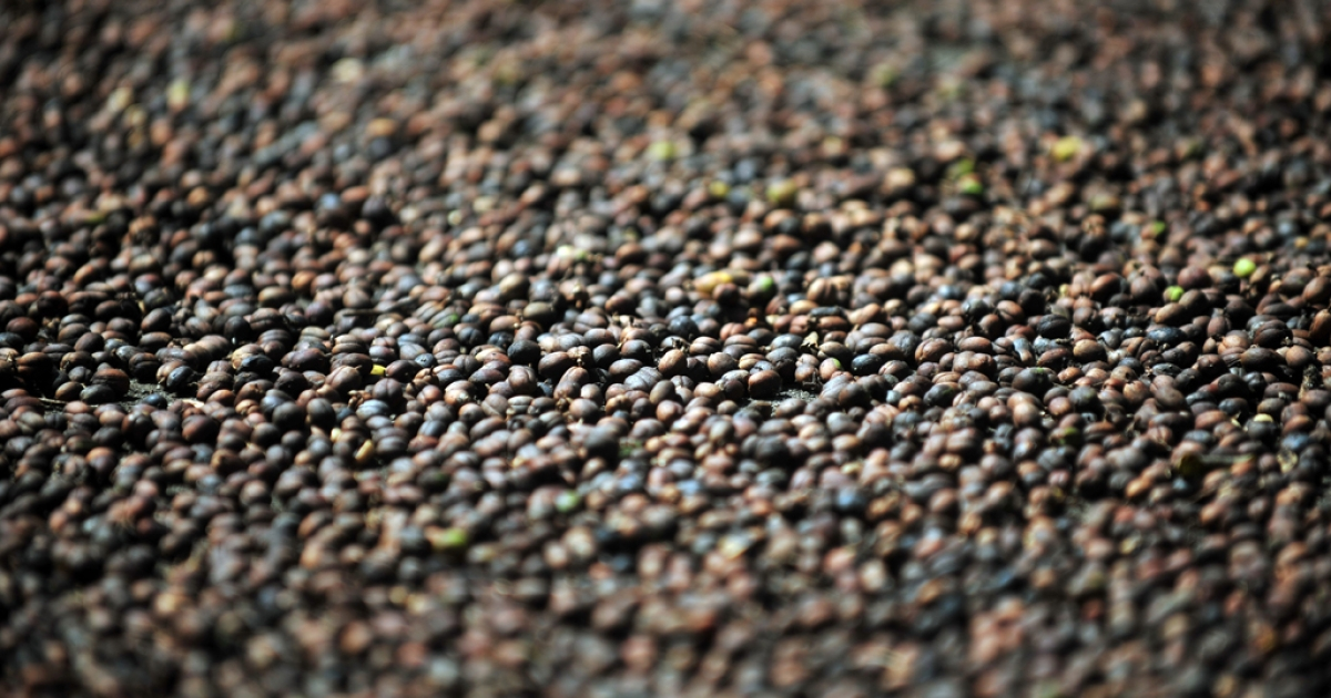 Coffee beans dry in the sun, on the outskirts of Diriamba in Nicaragua.</p>