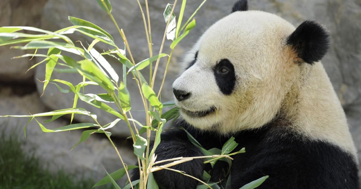 Panda.</p>