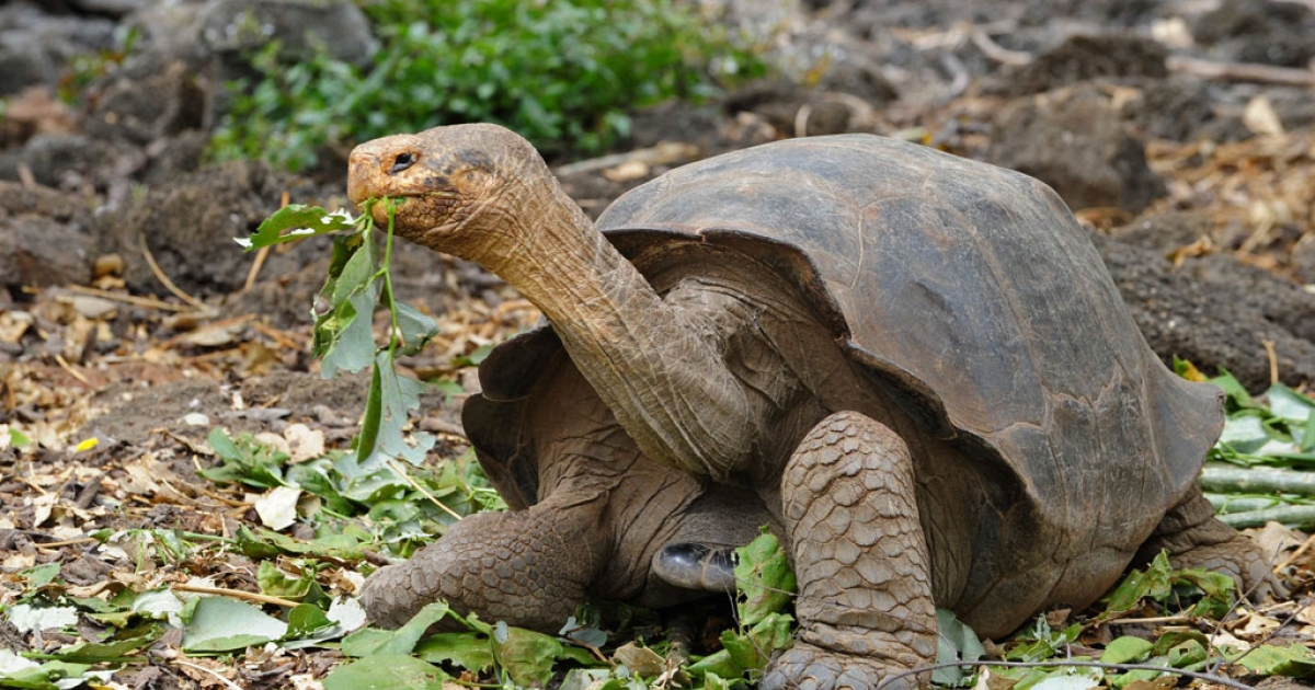 A giant tortoise species walks in a breeding center at the Galapagos National Park in the Galapagos archipelago on June 4, 2013.</p>