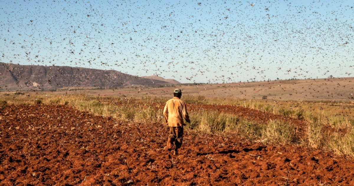 A farmer protects his rice field from locusts by chasing away them with reeds at Amparihibe village on May 7, 2014 in Tsiroanomandidy, western Madagascar.</p>