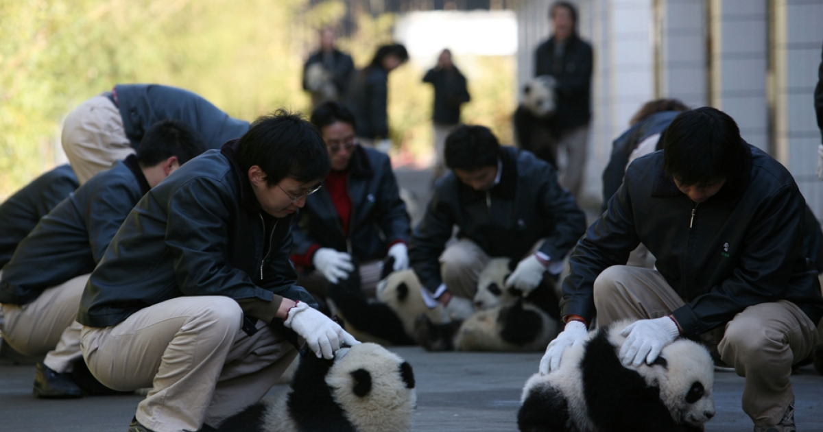 WOLONG, CHINA - FEBRUARY 10: (CHINA OUT) Feeders play with giant panda cubs before a ceremony at the China Wolong Giant Panda Protection and Research Centre on February 10, 2007 in Wolong Nature Reserve of Sichuan Province, China. A ceremony is held at the centre today to mark eighteen panda cubs' leaving their mothers and moving into the nursery playground. Eleven giant pandas gave birth to the cubs between July and September of last year. (Photo by China Photos/Getty Images)</p>