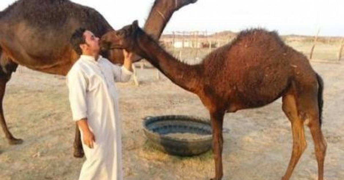 A Saudi farmer kisses a young camel despite warnings from the government against such contact due to MERS virus fears.</p>