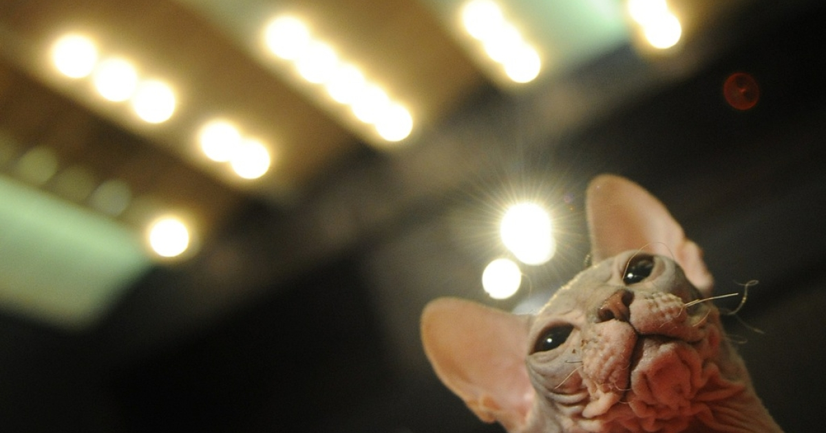 A three months old Canadian Sphynx breed cat is pictured. The Sphinx cat was a big contender at a feline beauty contest held in Romania recently.</p>