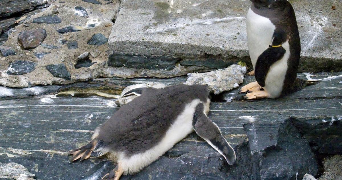 Penguins at the aquarium in Bergen, Norway.</p>