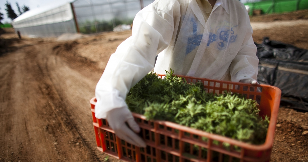 A worker carries medical marijuana at the growing facility of the Tikun Olam company on March 9, 2011 near Safed, Israel. The country has long  been a pioneer of cannabis research.</p>