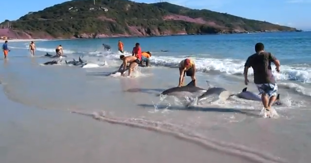 People race to save stranded dolphins at Arraial do Cabo beach in Brazil.</p>