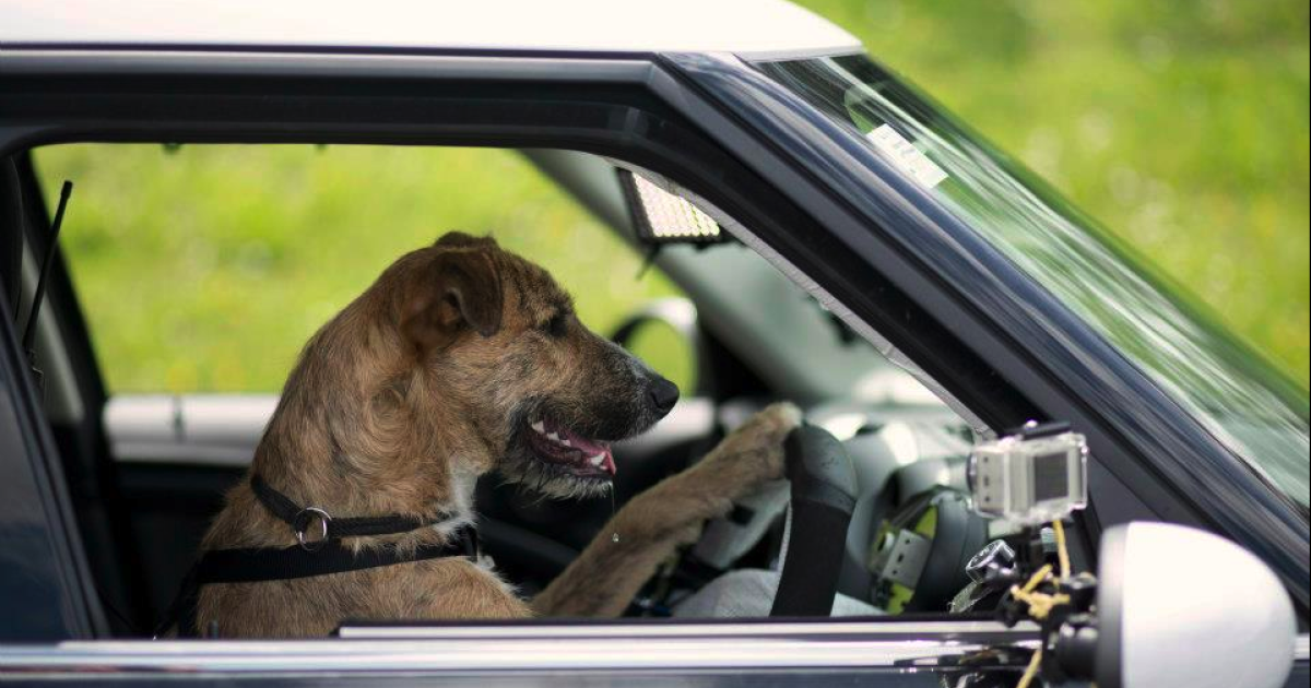 This dog is driving a car. No, really.</p>