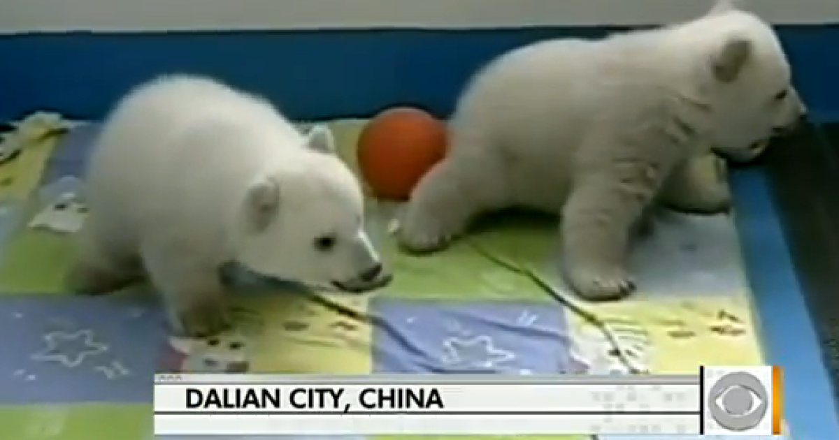 Twin polar bear cubs prepare to make their debut in China this weekend.</p>