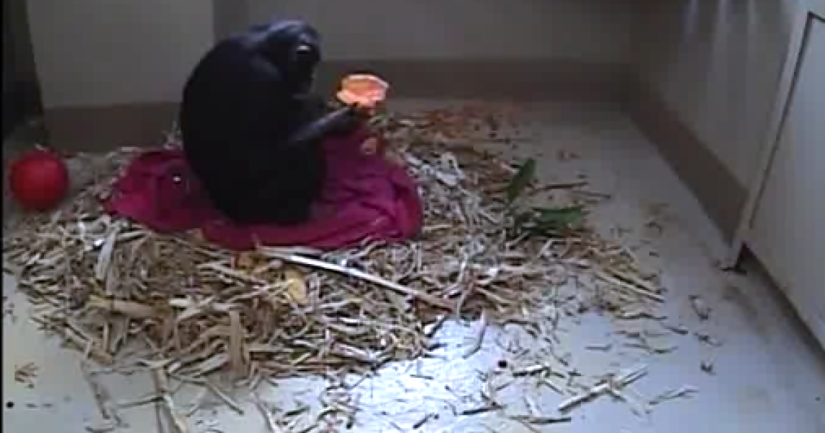 Nina the chimp refuels while she waits to give birth at the Jane Goodall Institute's Chimp Eden sanctuary in South Africa.</p>