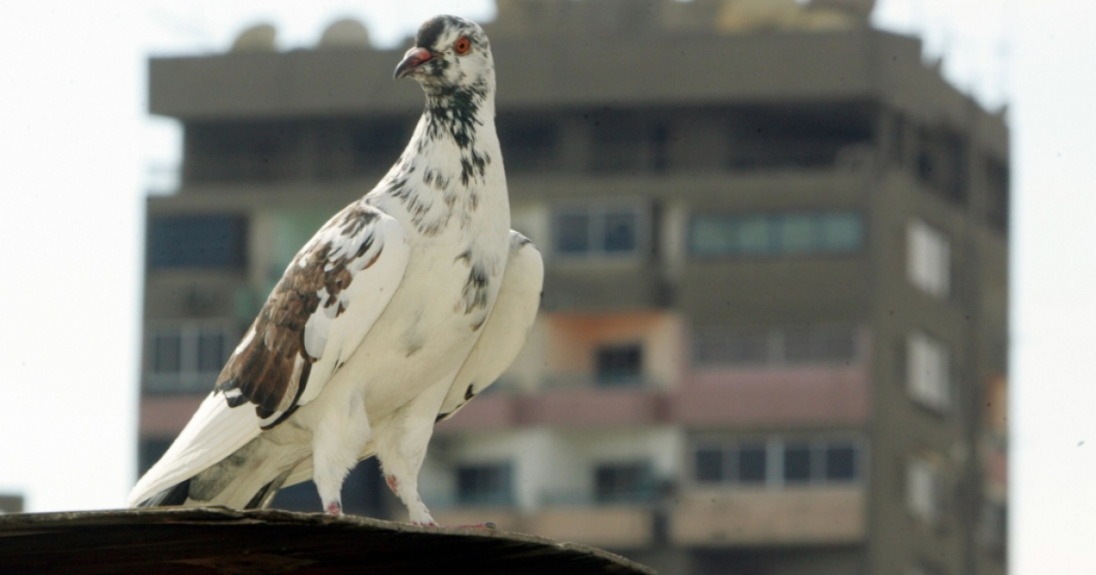 A pigeon stands at the rooftop of a building in Cairo 18 February 2006.</p>