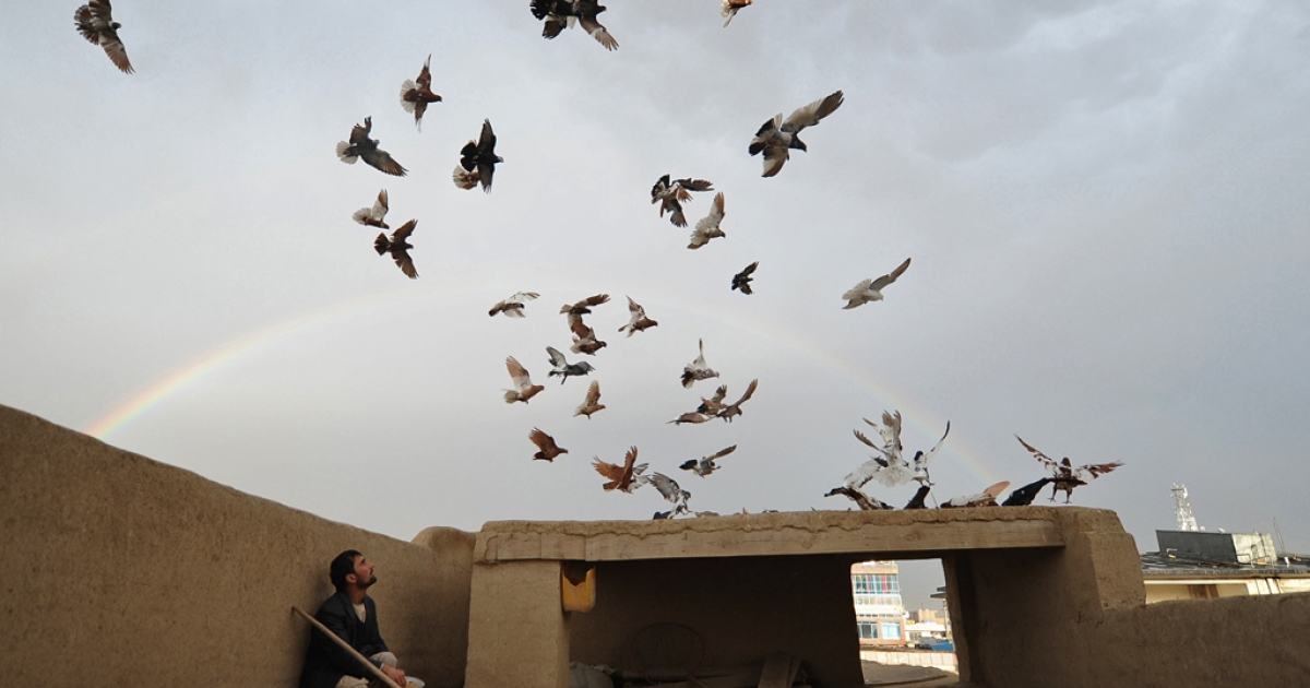 An Afghan man watches pigeons on the roof of his house as a rainbow forms in the background. A new study has found that pigeons' may have
