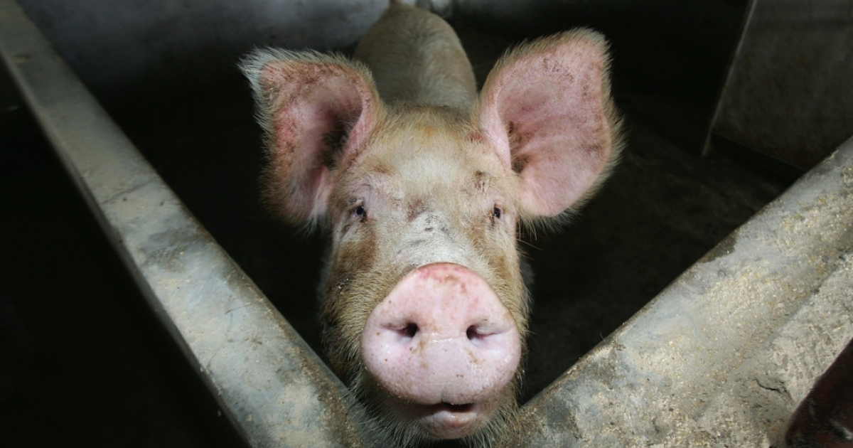 A pig at a pig farm in Lishu County, Jilin Province, in northeast China, on Jan. 17, 2008.</p>