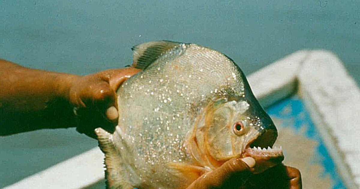 Researchers said that the black piranha may have the world's strongest bite.</p>