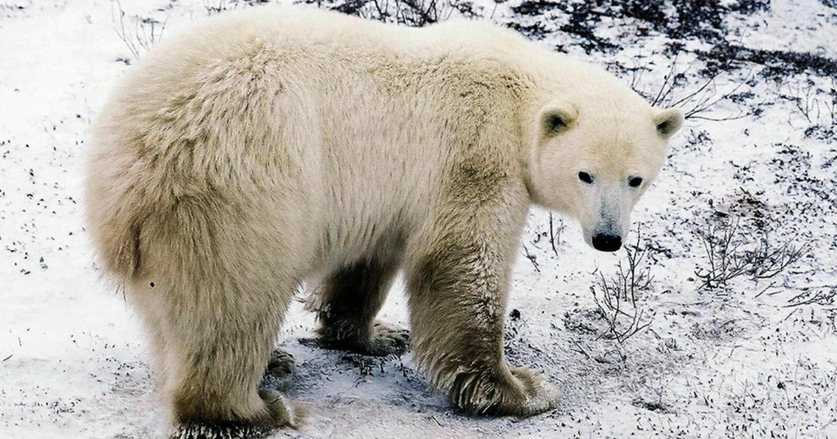 A polar bear waits on the edge of the Hudson Bay near the city of Churchill, Manitoba, Canada, October 10, 2002</p>