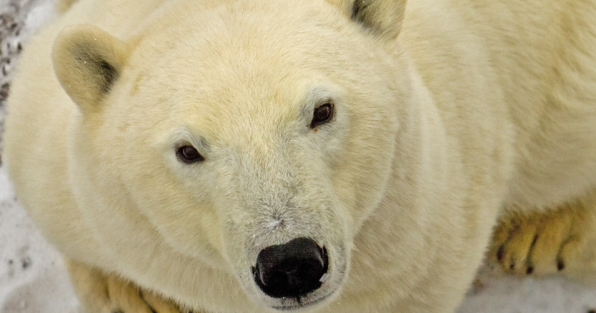 Polar bear home intruder: hide your kids, hide your wife.</p>
