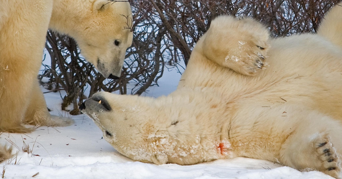 Two polar bears play near Hudson Bay near Churchill, Man. New government research shows more polar bears than once believed, although longtime researchers dispute how the data was collected.</p>