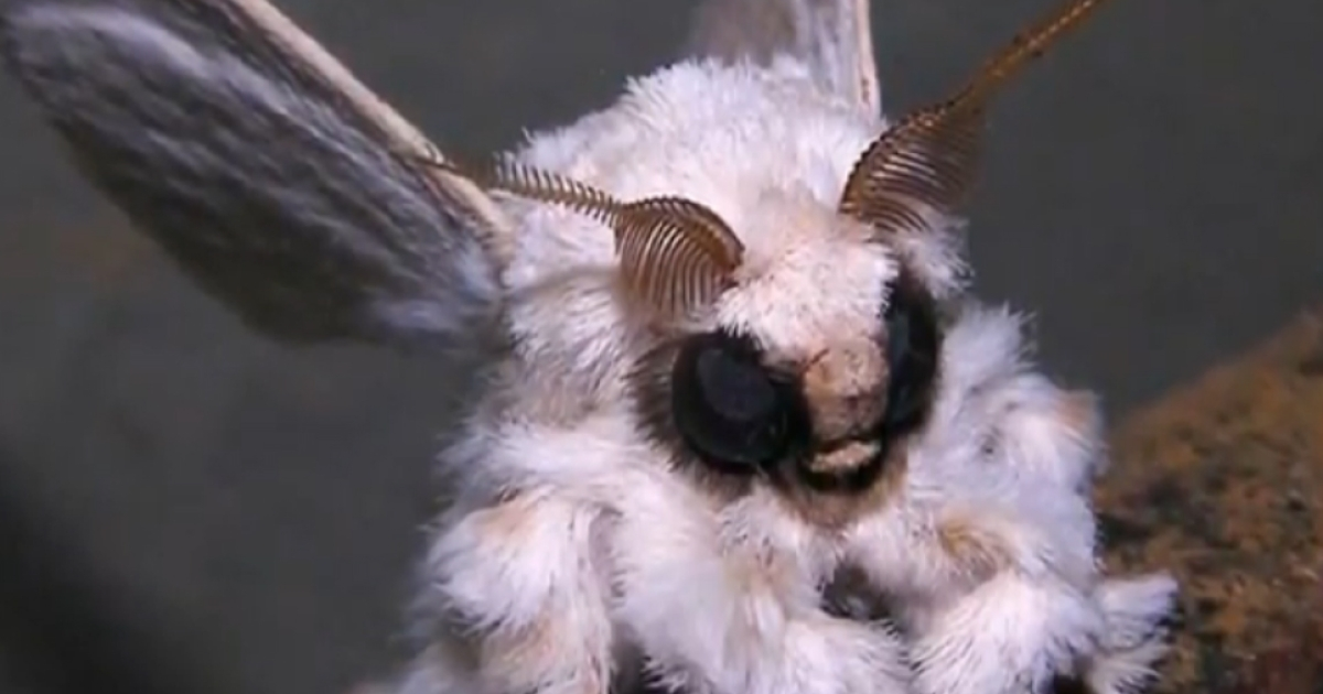 The Venezuelan poodle moth has captured much attention given its bizarre appearance.</p>