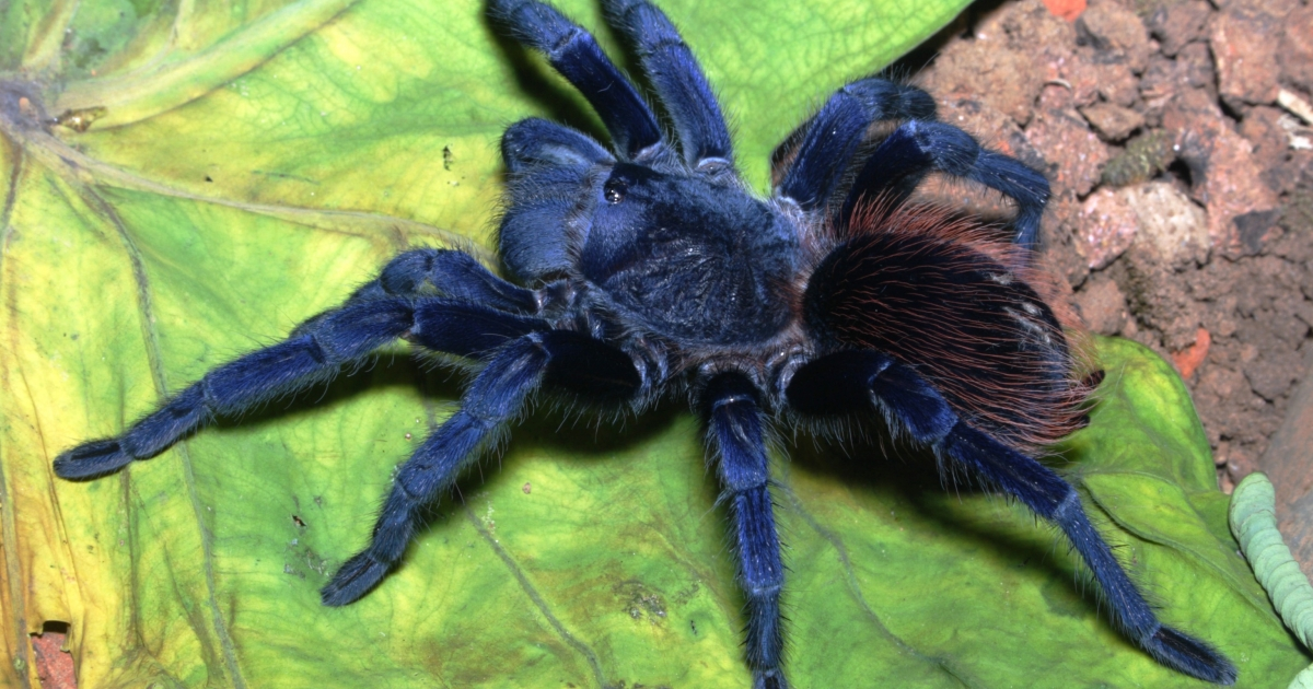 These strikingly blue (and hairy) tarantulas were found in Brazil.</p>