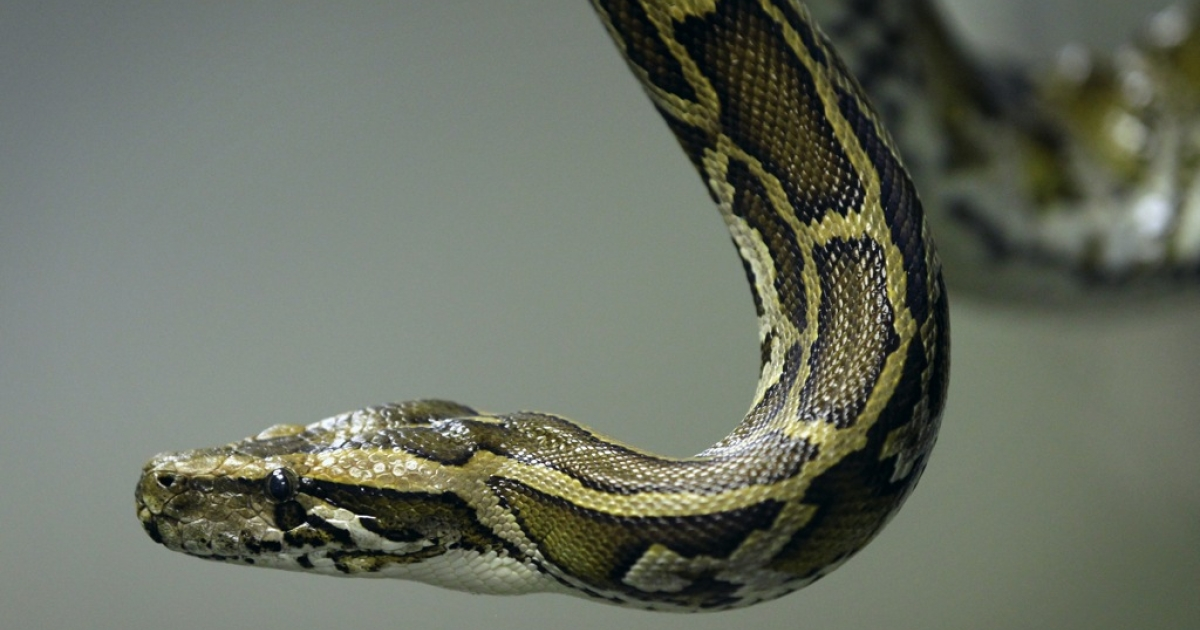 When snakes attack.</p>