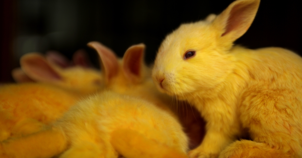 Rabbits are pictured in March 2010 at the pet market of Souq Waqif in Doha.</p>