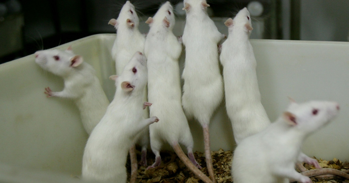 Rats allegedly attacked a 70-year-old man in a government-run hospital in India.</p>