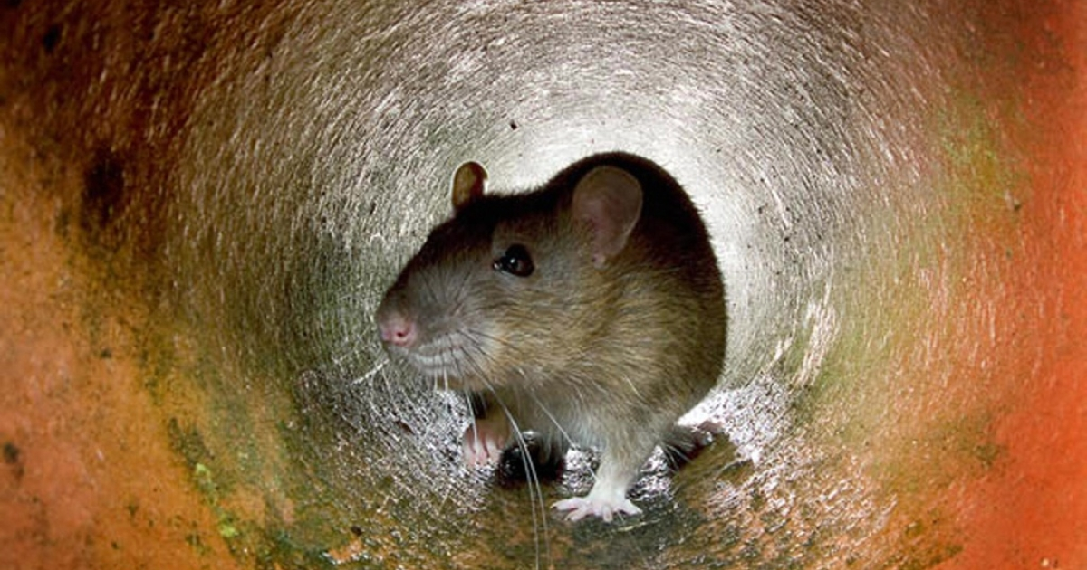 Undated file photo of a rat in a sewer pipe.</p>