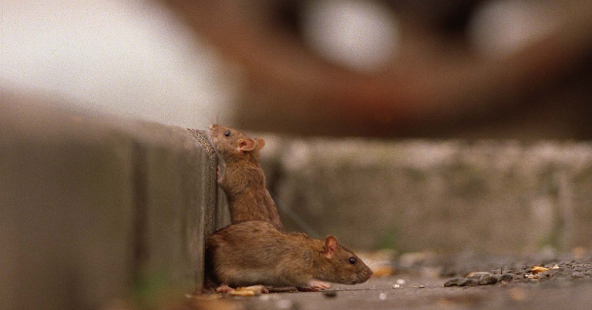 Rats look for food at the Beaumont Street waterfront in Auckland, New Zealand.</p>