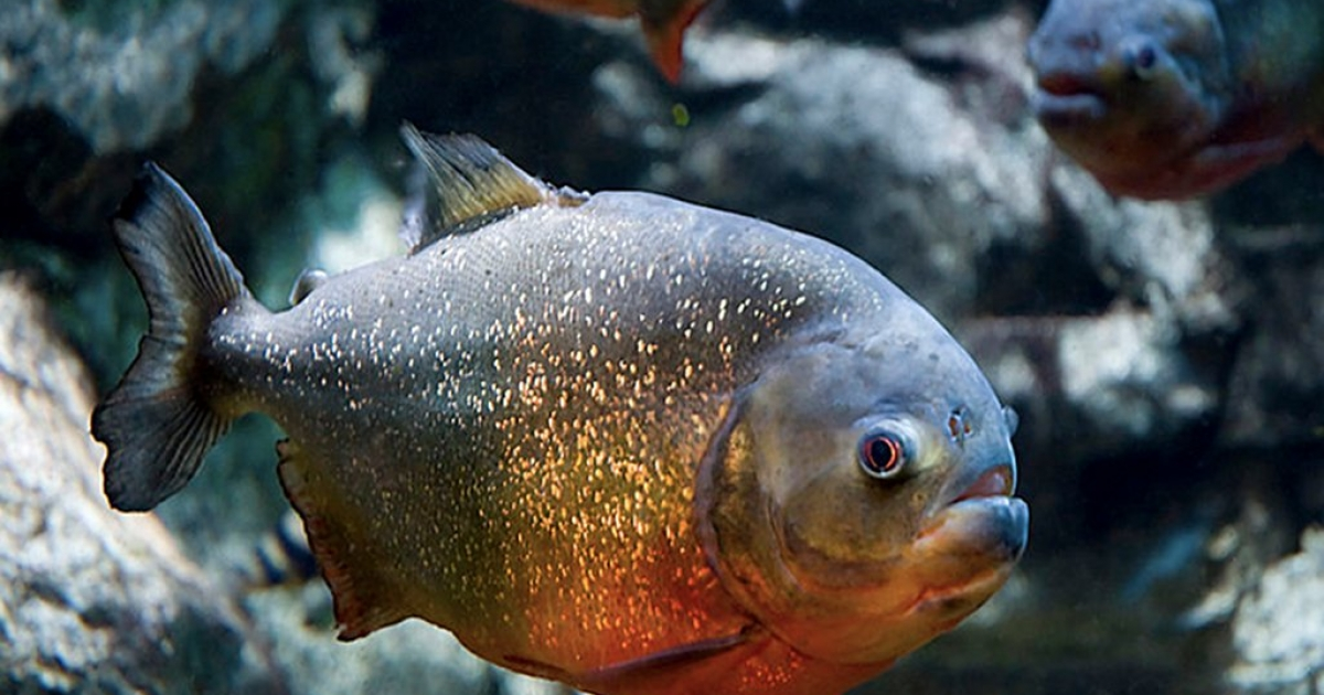 A red-bellied piranha, which has a reputation for being very aggressive.</p>
