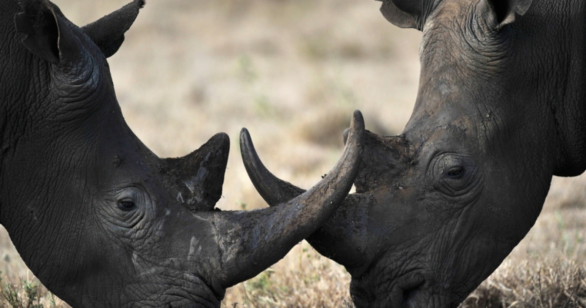 Two rhinos playfully lock horns. Some wildlife experts say that controlled hunting is the best way to save the endangered rhino from being poached to extinction.</p>